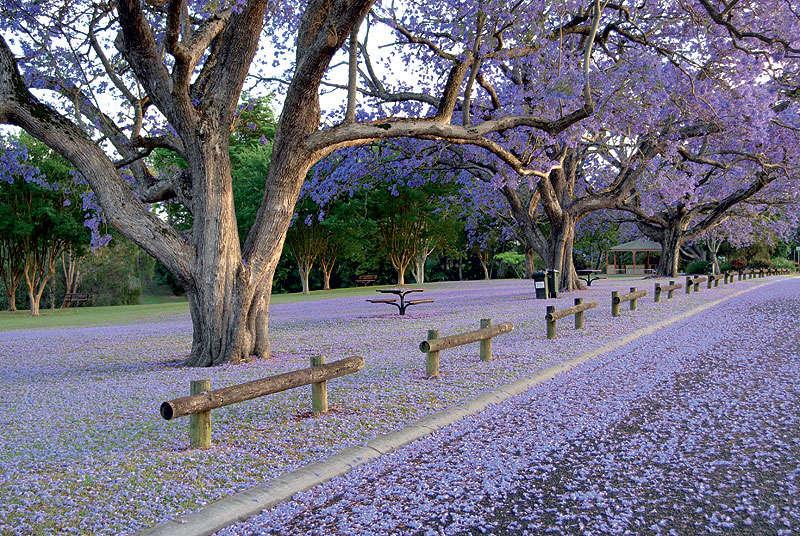Mùa thu nước Úc có câyJacaranda tạophong vịlãng mạn