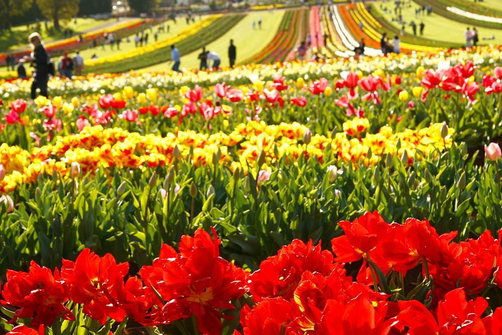 Lễ hội tulip Tesselaar vào mùa xuân ở Úc