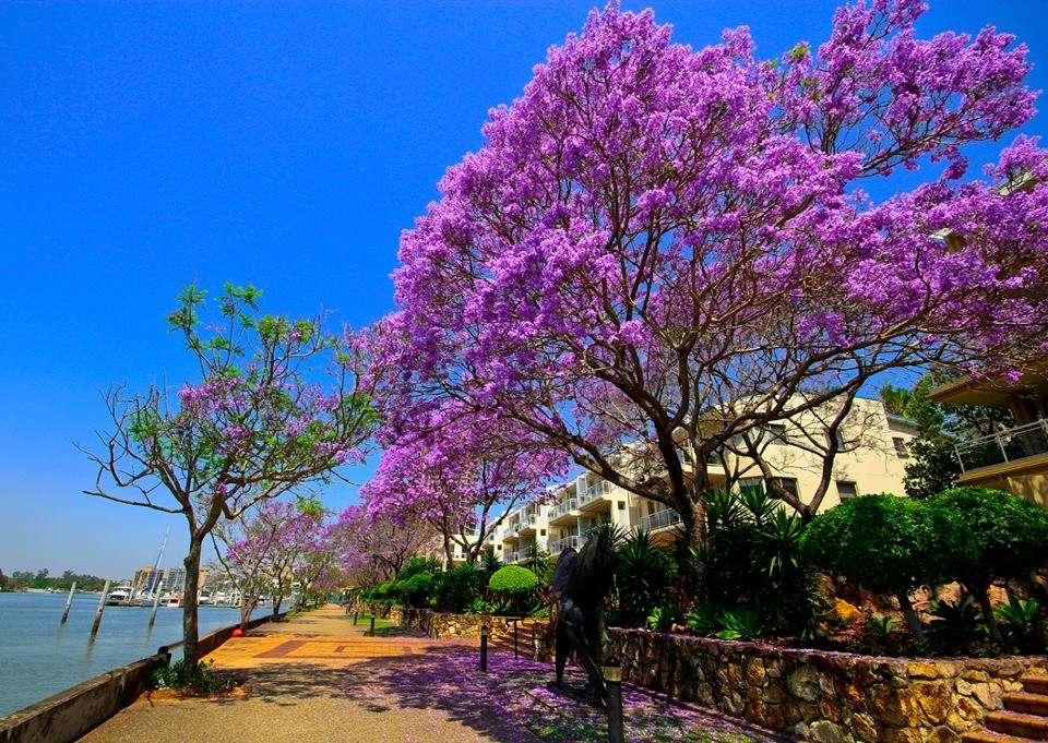 Mùa xuân bên sông Brisbane