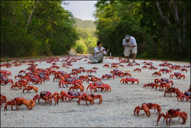 Du khách thích thú chứng kiến cảnh di cư của đàn cua đỏ trên đảo Giáng sinh ở Úc