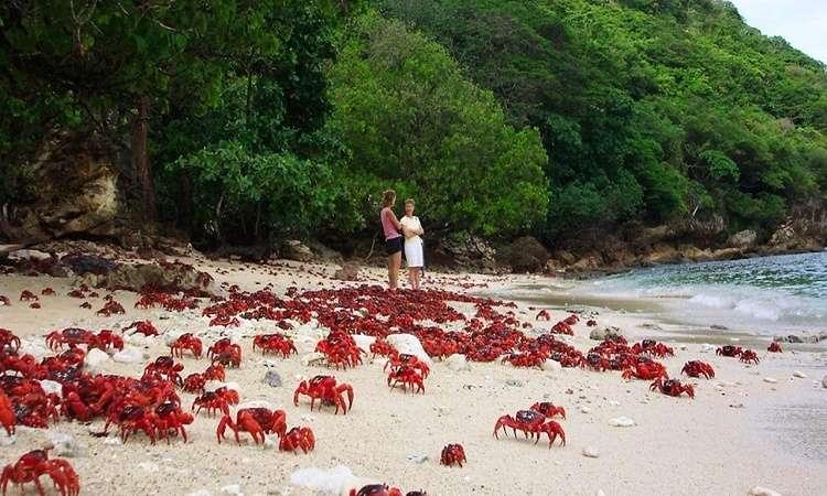 Hàng trăm cua đỏ di cư ra biển mỗi năm