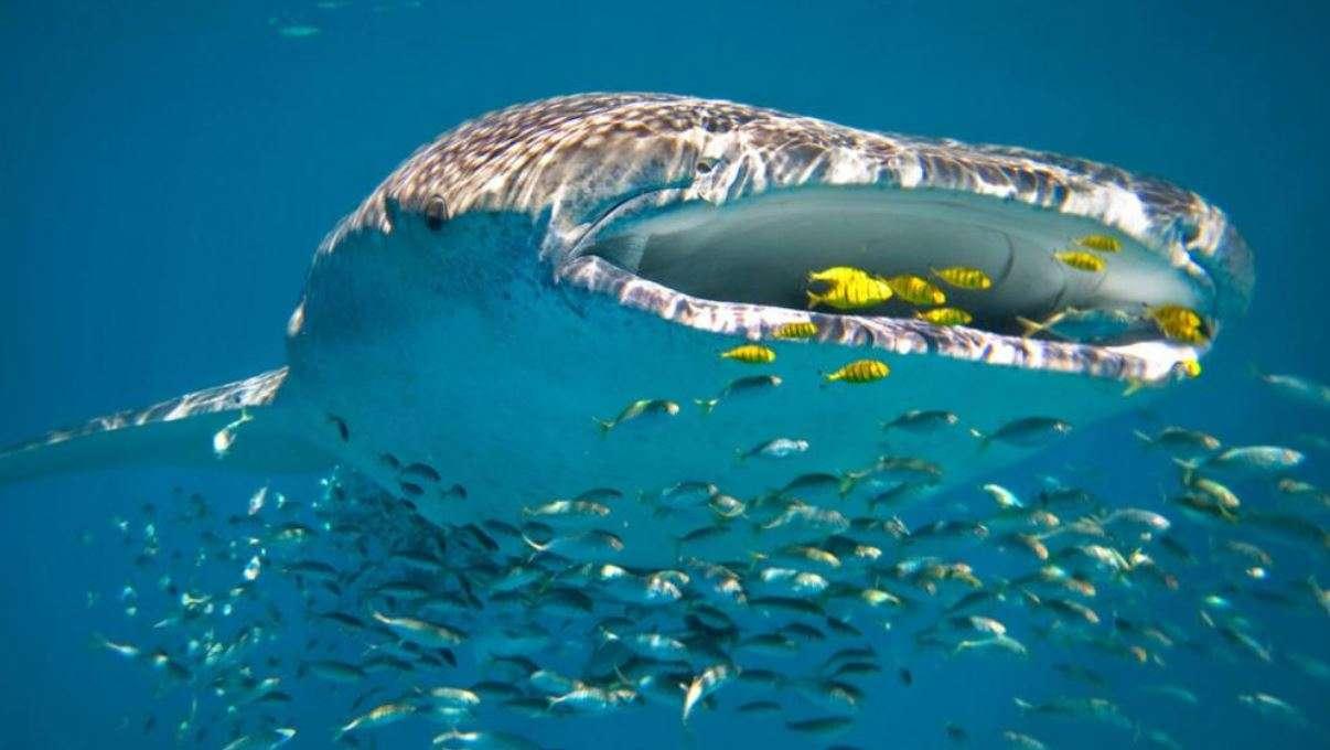 Đến Ningaloo Reef để chiêm ngưỡng loài cá khổng lồ