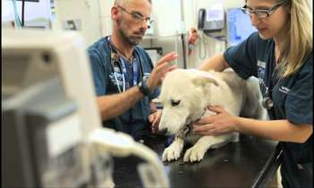 Hướng dẫn các bước để du học ngành bác sĩ thú y ở Úc thành công
